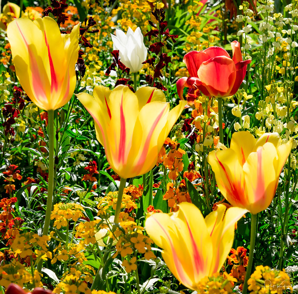 From Monet's Garden – Flame Tulips