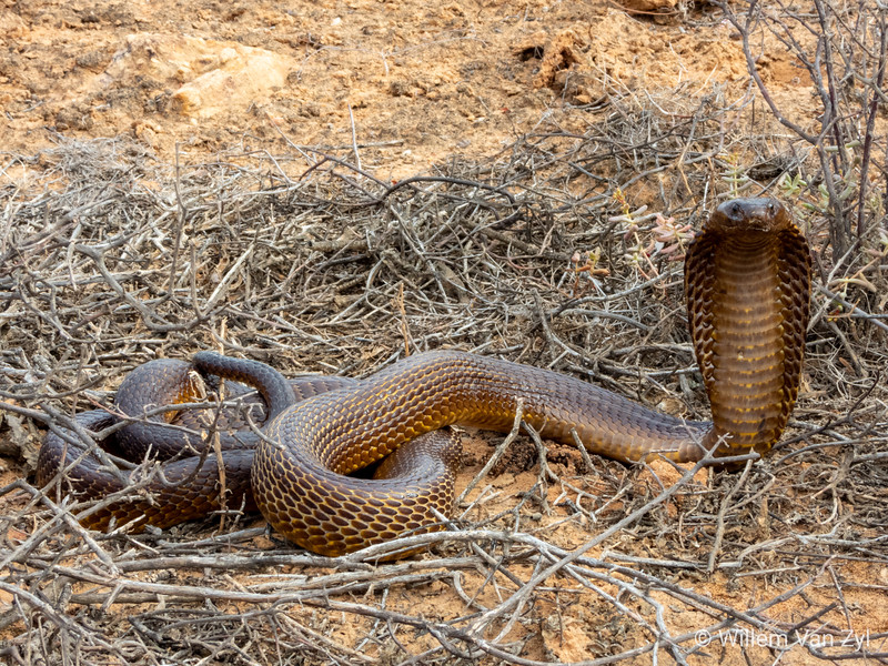 20200213 Cape Cobra (Naja nivea) from Vredendal, Western Cape