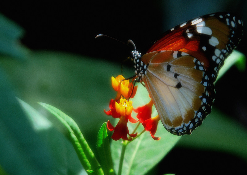 Key west butterfly ambient light .jpg