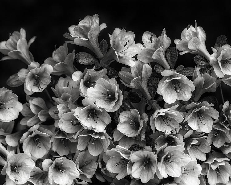 azalea-blossoms.jpg