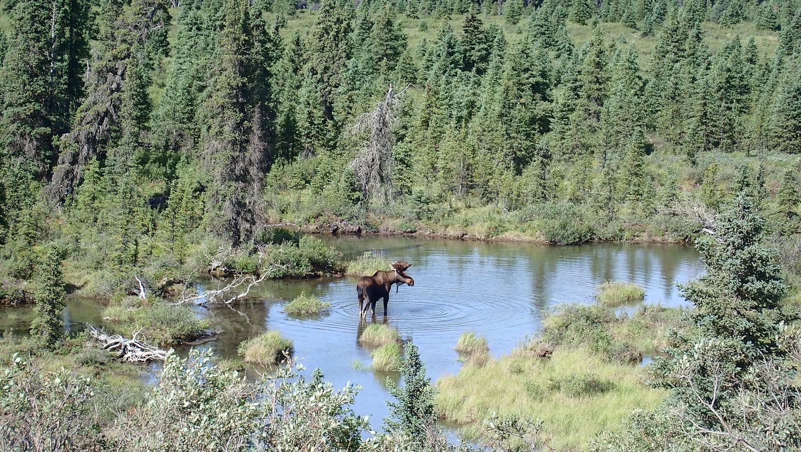 Bull moose and owl