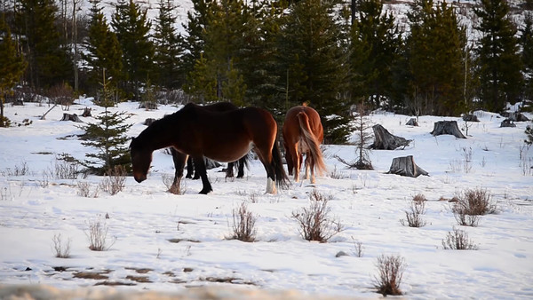 11 2013 Nov 29 Alberta Wild Horses - Elbow Falls VideoII