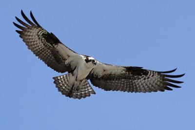 Ospreys 2009