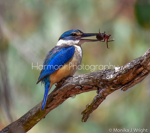 Harmoni Photography Kingfishers and Kookaburras
