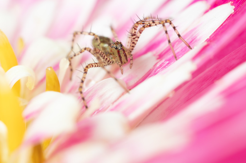 Baby Lynx Spider on a Pink Flower
