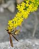 Common Paper Wasp (Polistes exclamans) at Ha Ha Tonka State Park.