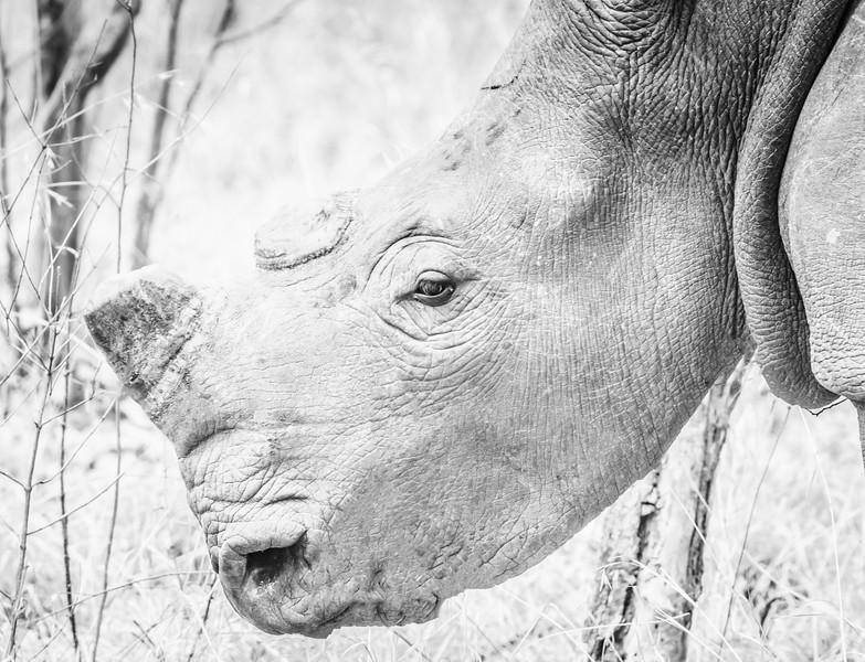 Unhorny White Rhino