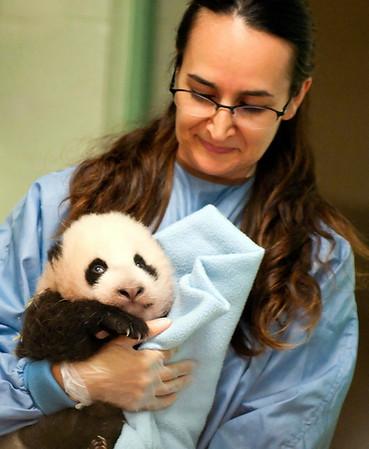 Giant Panda Cub Exam @ San Diego Zoo 10/15/2009 (71 days old)