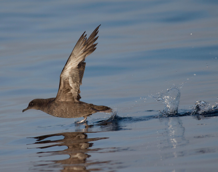 Sooty Shearwater  San Diego waters 2010 05 07-2.CR2