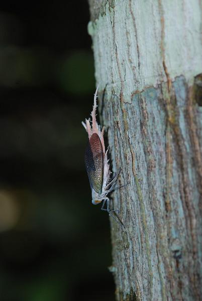 Lantern Bug - Guyana