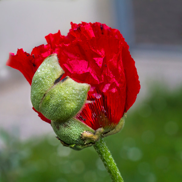 Freshly Popped Poppy