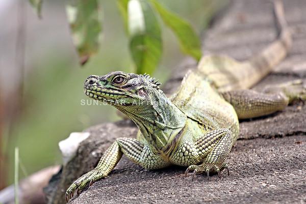 Sailfin Lizards
