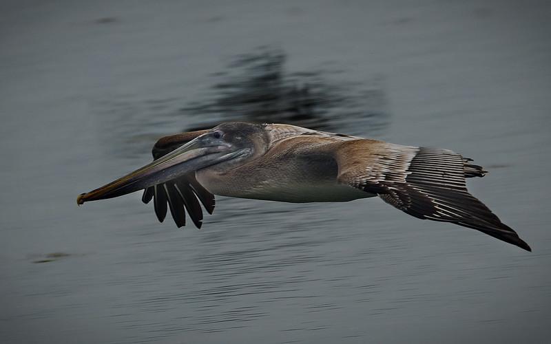 Brown Pelican, Florida, Key West