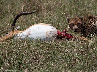 Cheetah and killed Impala