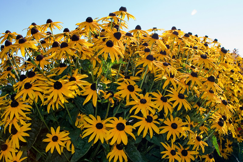 Black Eyed Susans.jpg