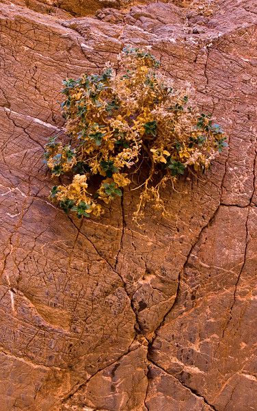 Shrub growing from a rock face in the Titus Canyon