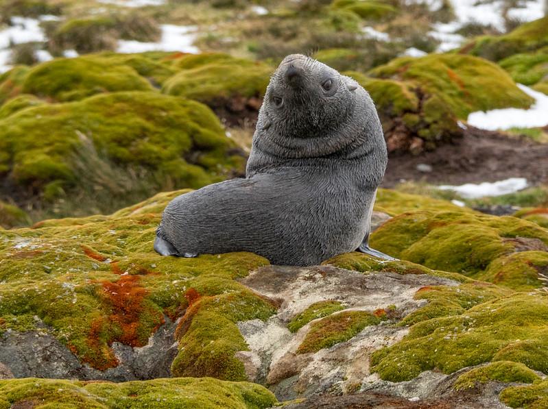 Seals_Fur_Stromness_South Georgia-1.jpg