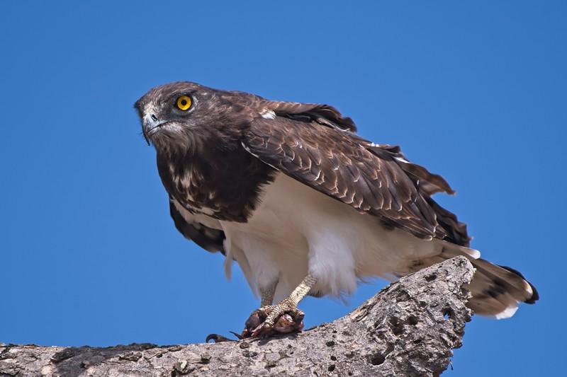 Black-chested Snake Eagle sm.jpg