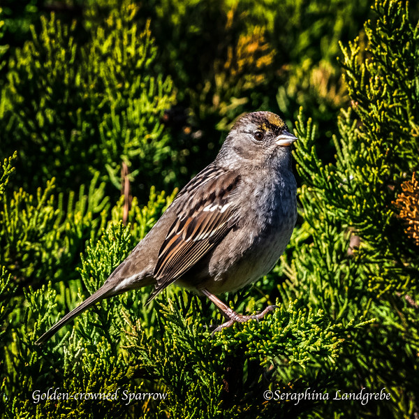 _DSC5120Golden-crowned Sparrow.jpg
