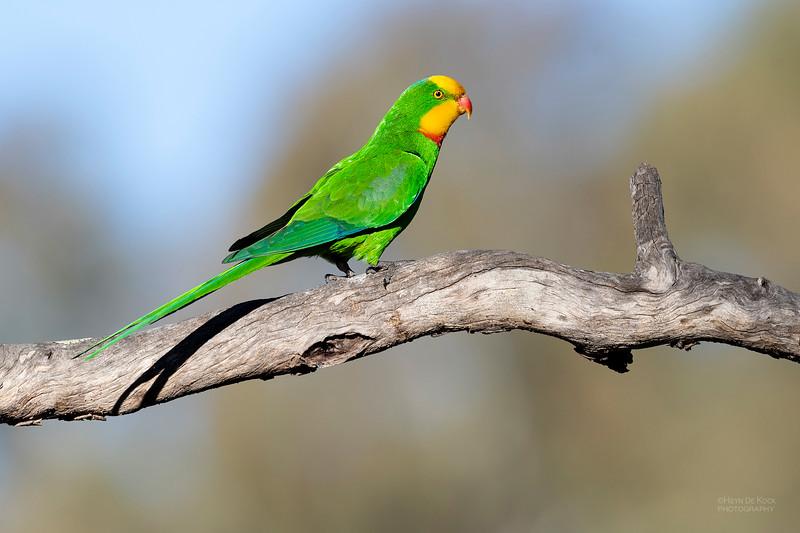 Superb Parrot, Deniliquin, NSW, Oct 2018-4.jpg