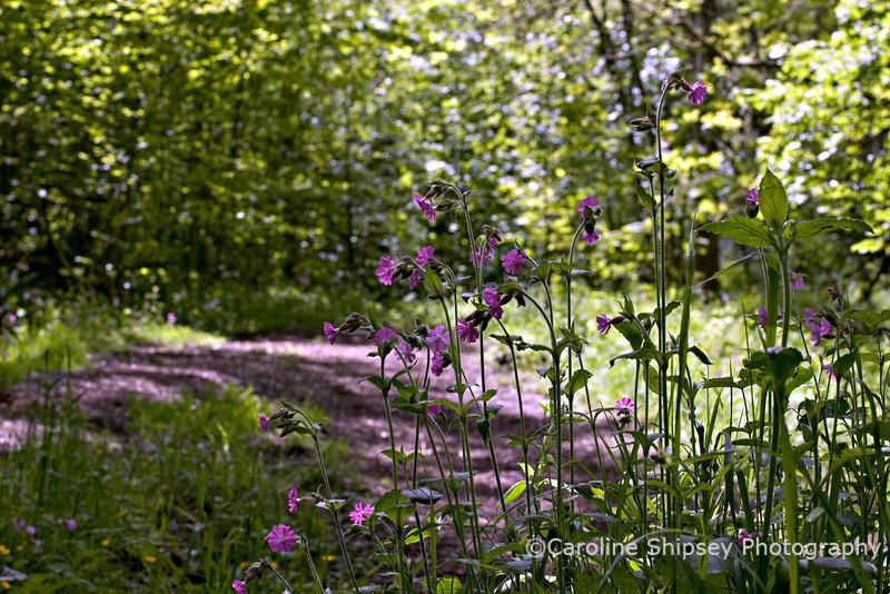 Campion in woodland