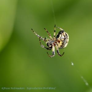 Spinnen, Spiders, Araignées, Webspinnen
