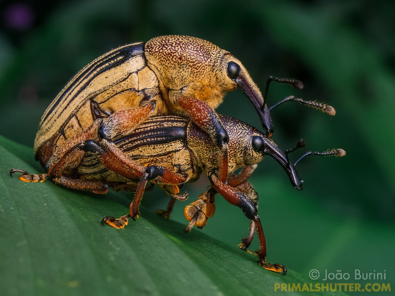 Mating elephant weevils