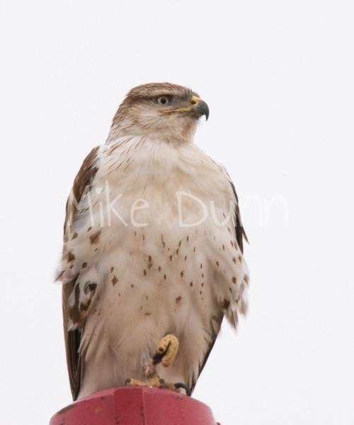 Ferruginous Hawk-35