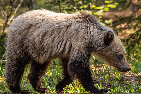 3 Bears 2021