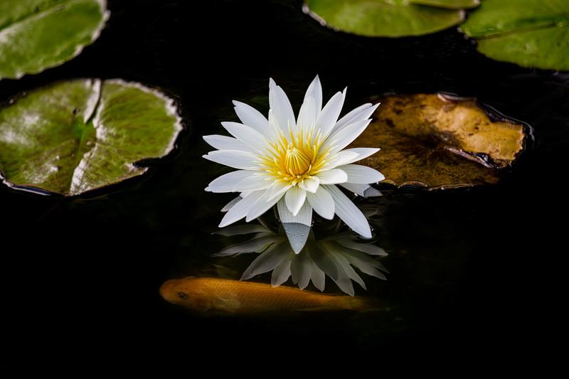 Lotus-koi-2.jpg