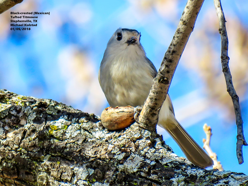 IMG_9281 3T Black-crested (Mexican) Tufted Titmouse Stephenville 105 1414.jpg