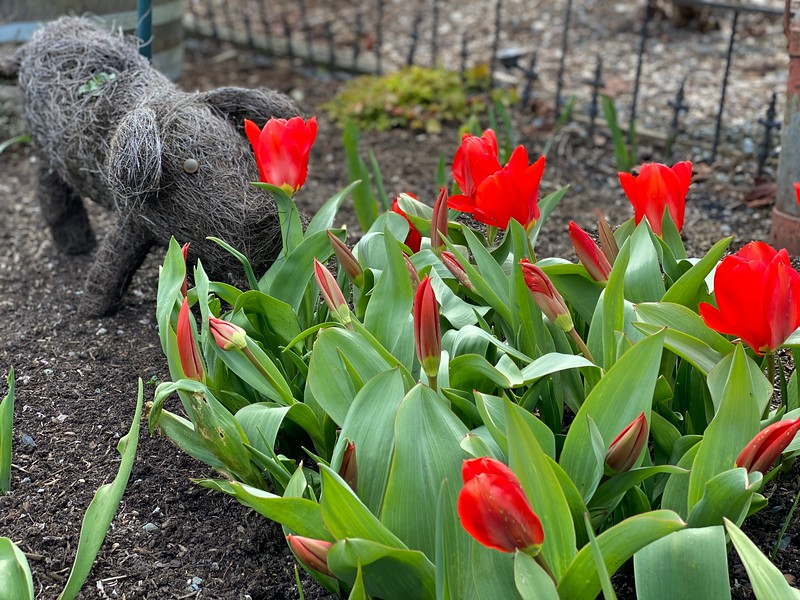 Tulips and Decorative Pig in the Garden