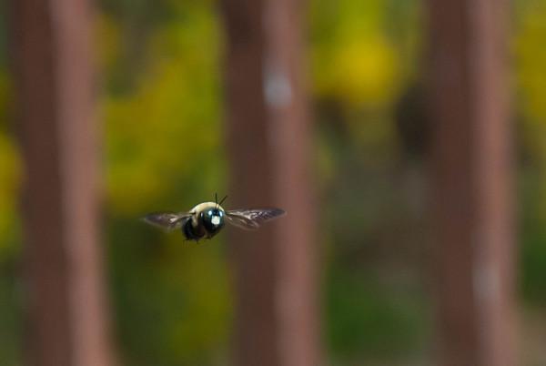 2012-04-14 Carpenter Bees