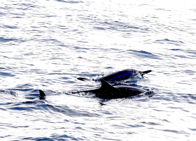 bottlenoeddolphins.JPG