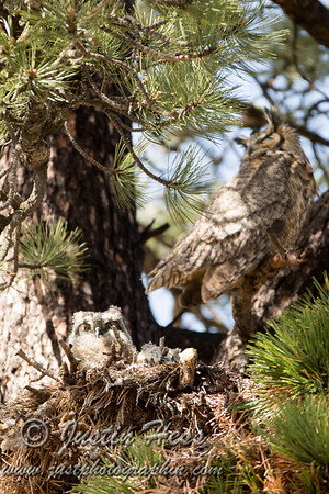 Great Horned Owlets 05-17-2014