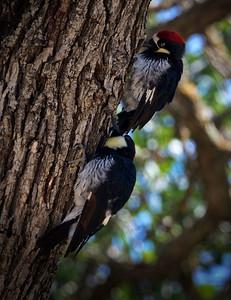 Woodpecker Wood