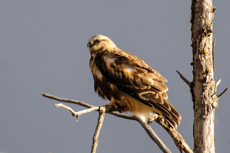 Hawk - Rough-legged - Sax Zim Bog - St. Louis County, MN