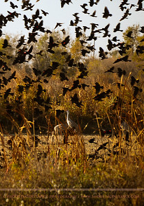 Sandhill Cranes behind a Veil of Red-Winged Blackbirds, in the Sacramento Delta