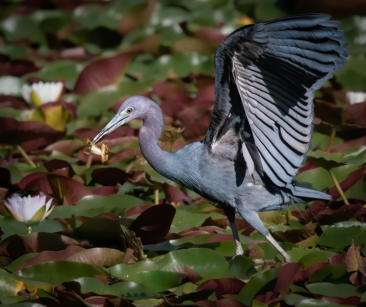 _5001434 Little Blue Heron and frog.jpg