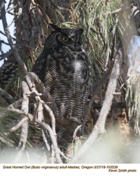Great Horned Owl A103538.jpg