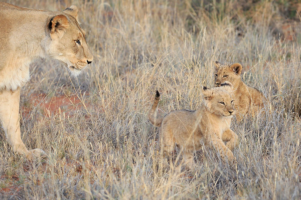 Lion Cubs of Tswalu South Africa 2016