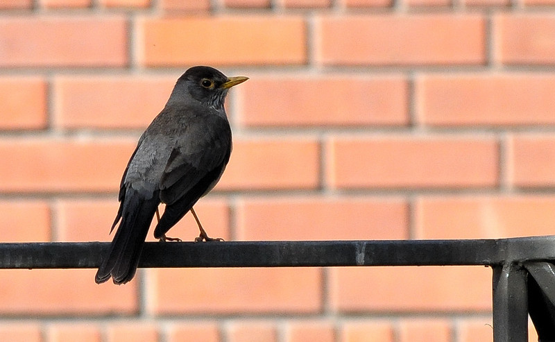 ub austra thrush on fence DSC_2421.jpg