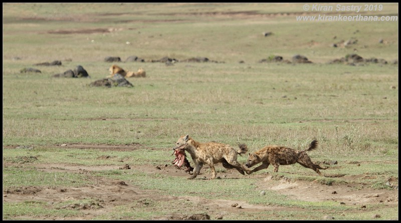 Spotted Hyena, Ngorongoro Crater, Ngorongoro Conservation Area, Tanzania, November 2019