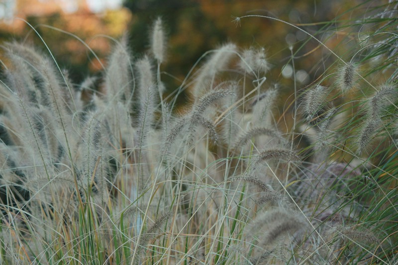 FOUNTAIN GRASS pennisetum setaceum