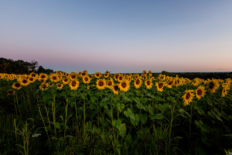 Mike Maney_Sunflowers-1.jpg