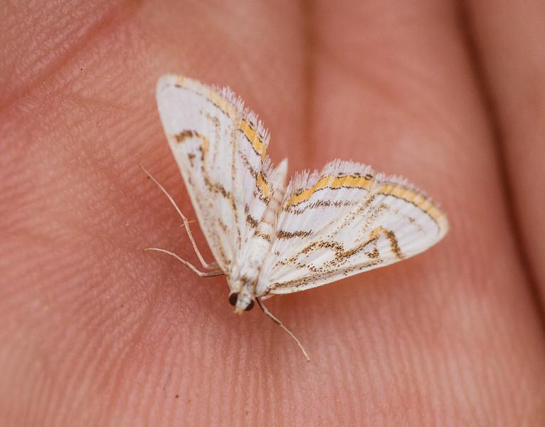Parapoynx badiusalis Chestnut-marked Pondweed Moth 80-0736 4761 Bog BioBlitz VI FOSZB Sax-Zim Bog MNIMG_0143.jpg