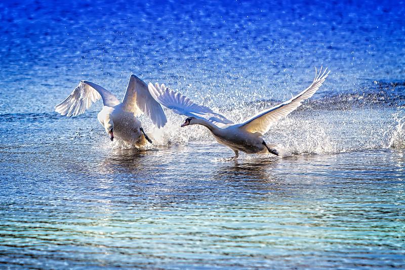 pepperell swan.jpg