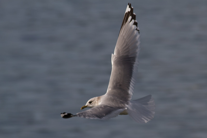 Mew Gull Adult - Note the white tail