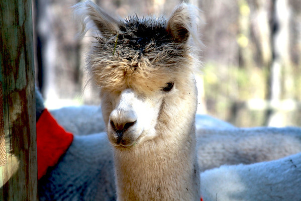Laurel Highlands Alpacas