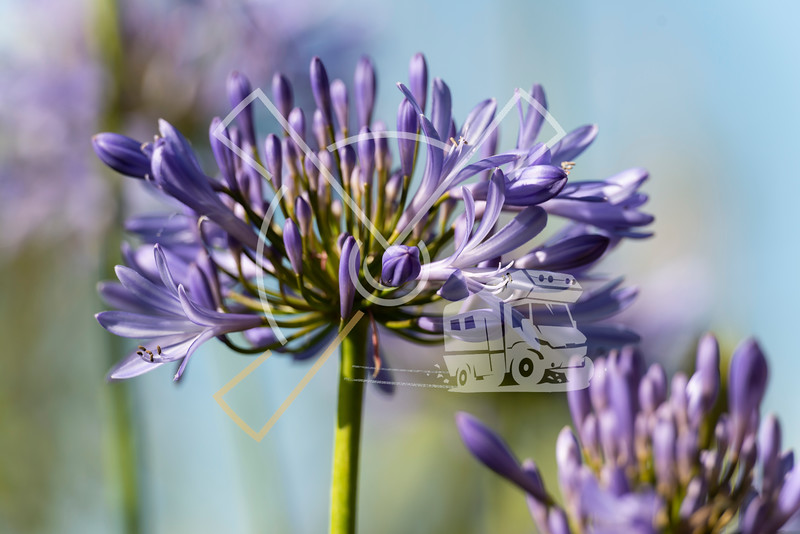 the invasive purple Agapanthus or african lily growing well on Sao Miguel island